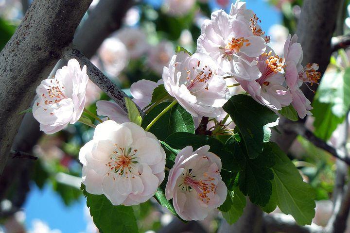 cherry-flowers-garden