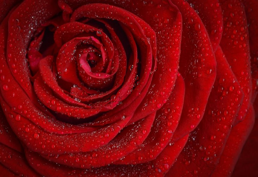 Amazing Facts About Roses You Probably Didn T Know Horticulture